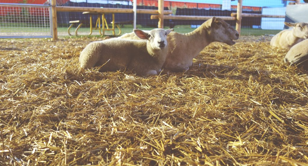 Sheep at the Western Fair in 2017. Photo by Nicole Borland.