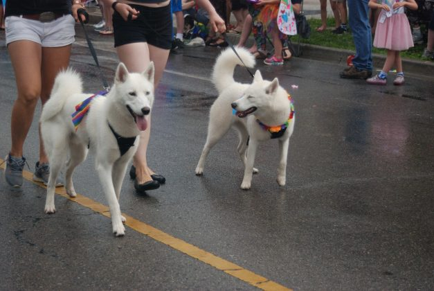 24th Annual London Pride Parade. Two huskies at the Pride Parade in London, Ontario. Photo by Emily Stewart.