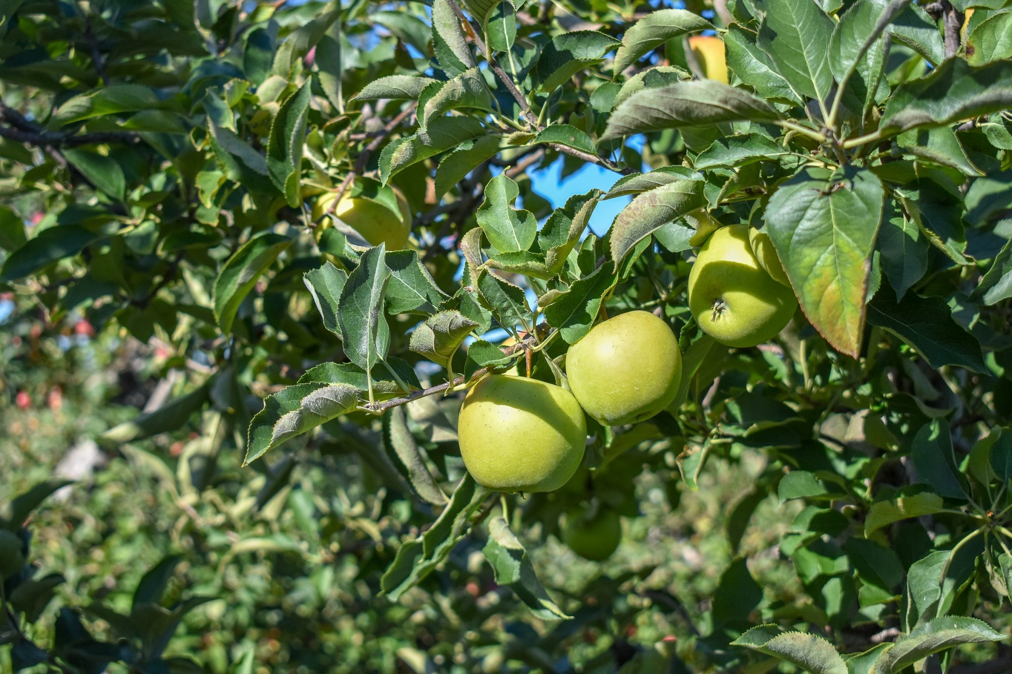 Mutsu/Crispin apples ready for the picking. Photo by Laura Thorne.