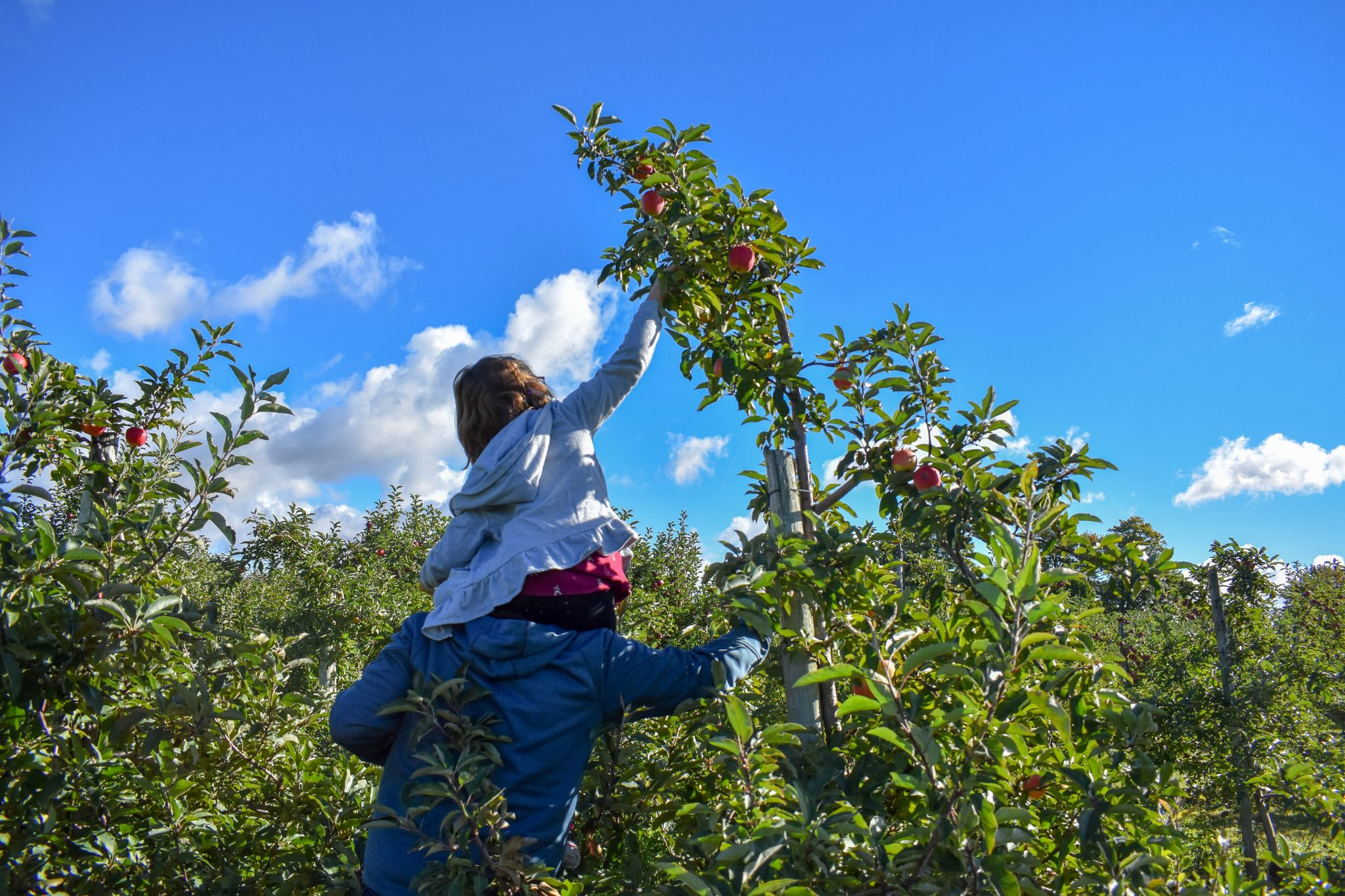 Teamwork makes the dream work: A young girl sits on her dad's shoulders to reach the highest apples. Photo by Laura Thorne.