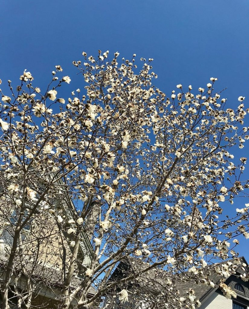 a tree with white flowers and a piercing blue sky
