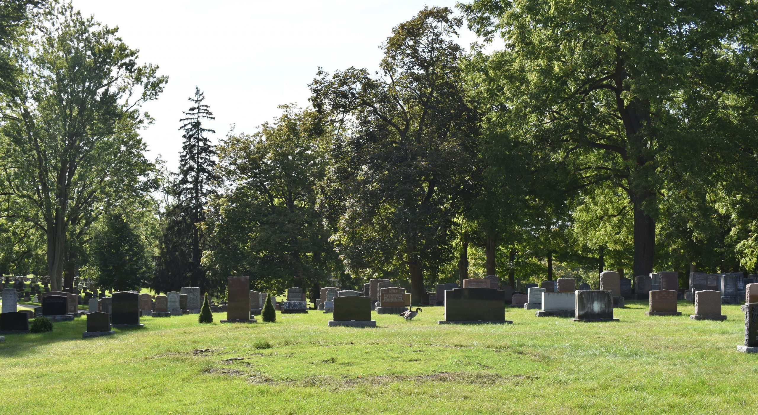 Canadian geese walk among graves in Woodland Cemetery