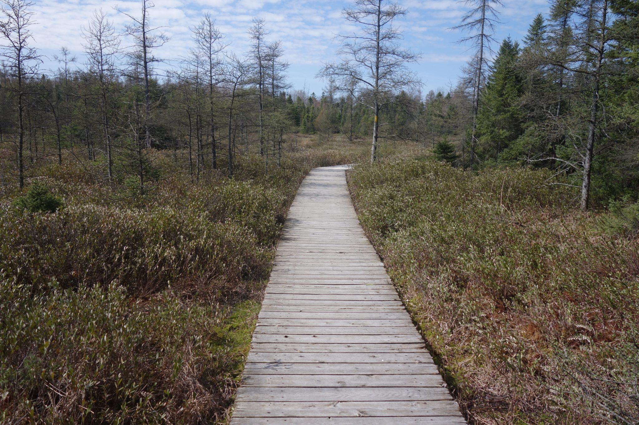 A wooden boardwalk leading through a bog with trees and shrubs.